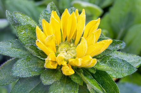 Beautiful yellow flower in the morning dew. Fresh yellow flower with dew props.