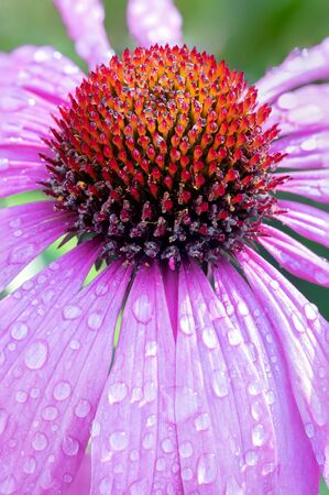 Echinacea Purpurea also known as Purple Coneflower and water drops. Ruby star coneflower close up