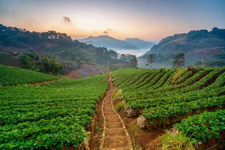 Strawberry garden with sunrise at Chiang Mai, Thailand. Misty morning sunrise in strawberry garden