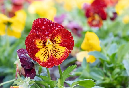 Pansies (Viola tricolor var. hortensis) as Heartsease with drops in garden.