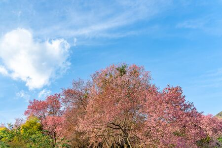 Heart white shape clouds in blue sky over pink cherry blossom tree, Valentine and love concept