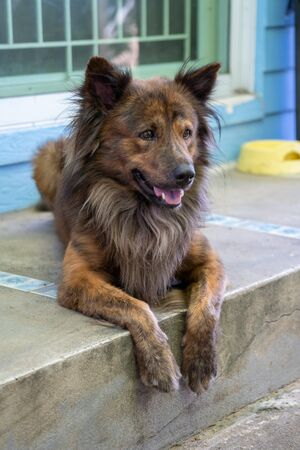 Beautiful brown dog lying on the porch of a house.