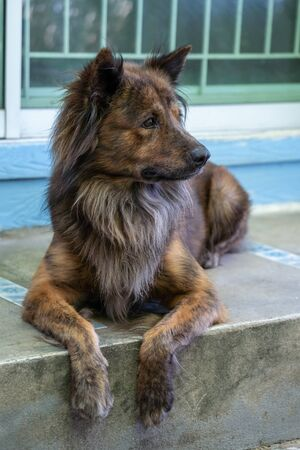 Beautiful brown dog lying on the porch of a house. Imagens