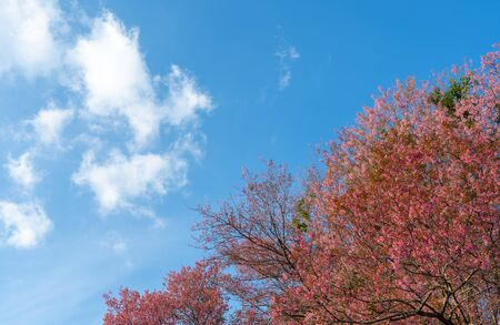 Moving clouds in blue sky over pink cherry blossom tree, Chiang Mai, Thailand. 版權商用圖片