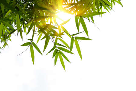 Green bamboo leaves and sunlight isolated on white background