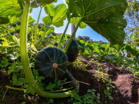 Japanese green pumpkin kobocha growing in the vegetable garden. Growing pumpkins. Pumpkin plant. Imagens