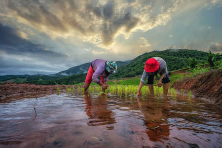 Farmer planting on the organic paddy rice in terrace field in Thailand