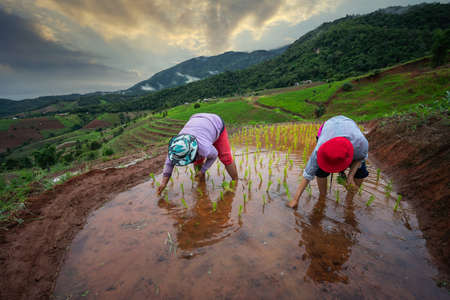 CHIANG MAI, THAILAND - JULY 9, 2020: Farmer planting on the organic paddy rice in terrace field in Thailand
