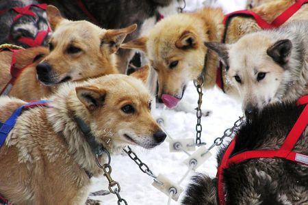 Sled-dog team wacht op de volgende run Stockfoto