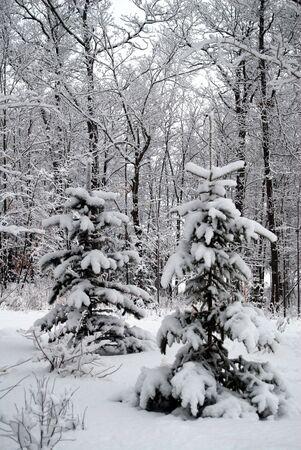 Twin pijnbomen bedrijf tot de winterse sneeuw