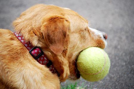 hond met voetbal in haar mond Stockfoto