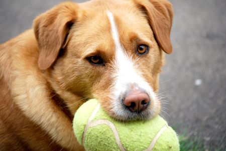 dog with football eyeing the competition