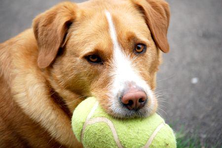 hond met voetbal eyeing de concurrentie Stockfoto