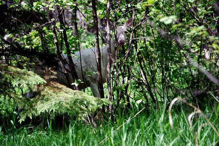 Albino Herten piek door de bomen Stockfoto