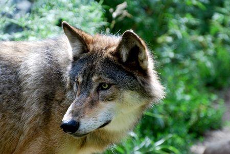 Krachtige Wolf surverying het bos