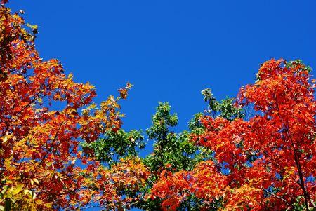 Fall bladeren briljante tegen de blauwe hemel Stockfoto
