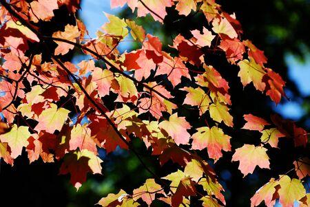 Kleurrijke esdoorn bladeren in de herfst