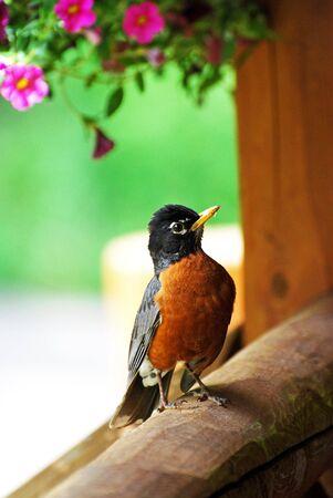 Robin neer ges treken op de veranda van een log boek