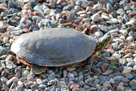 Turtle kruipen over rots