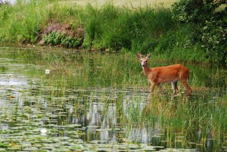 een jong hert venturing in het water voor een ochtend ontbijt