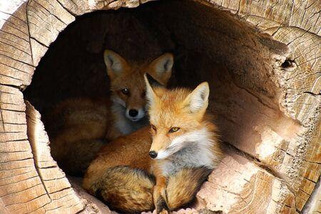 Twin jonge vossen kijken uit een hol log boek