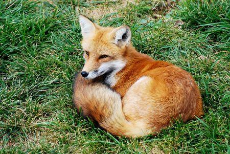 mooie rode vos rust in het gras