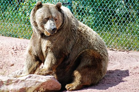 Grizzly bear on the watch Stock Photo