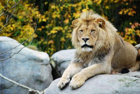 Leeuw op de uit  Stockfoto