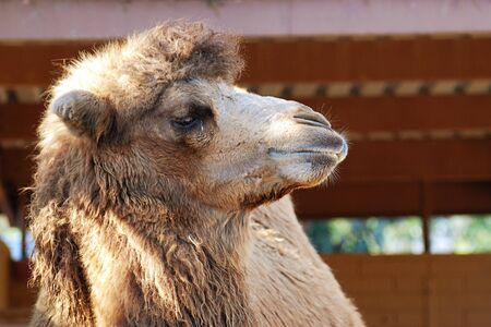 ssnooty kameel profiel