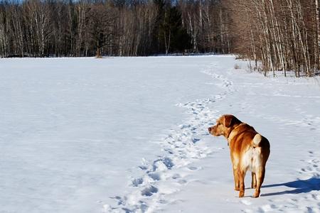 Guardian hond landmeetkunde het sneeuwt veld Stockfoto