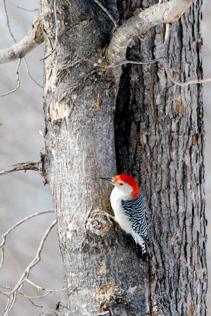 Red Bellied Woodpecker op een boom