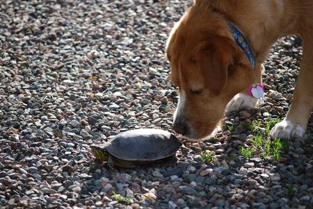 Nieuwsgierig hond snuiven een schildpad
