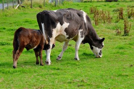Moeder Koe en kalf voeden in een weiland