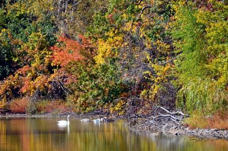 Zwanen op een rustig meer in de herfst Stockfoto