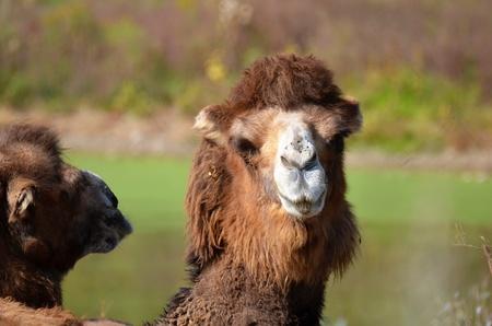 Bactrische kameel schitterend bij iedereen Stockfoto