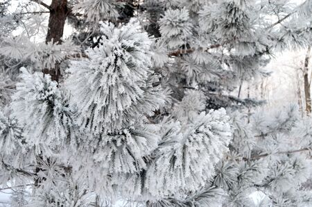 frigid: snow covered pine branches