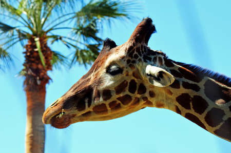 Giraffe hoofd profiel met palm boom tegen blauwe hemel