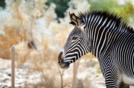 Waakzame zebra profiel Stockfoto