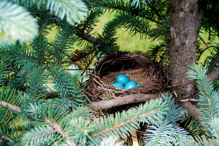 Newly laid blue robin eggs in a nest photo