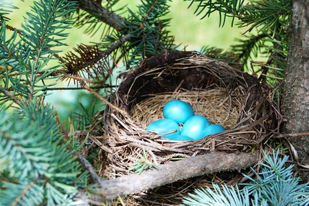 Blue robin eggs in a nest in a tree photo