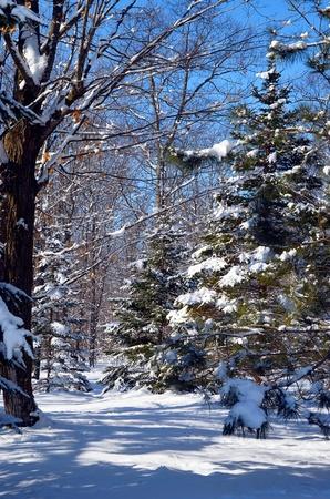 besneeuwde bossen met blauwe hemel