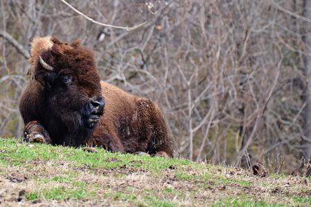 nadenken buffel landmetingen zijn omgeving op een grasvlakte Stockfoto