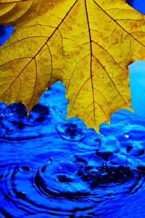 Yellow maple leaf over blue water in drops and splashes. The concept of the arrival of autumn. Its raining. Horizontal orientation for the background screen saver on the phone.