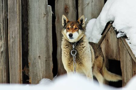 The dog in the collar on the chain looks to the side expectantly. The pet winters outside in cold.