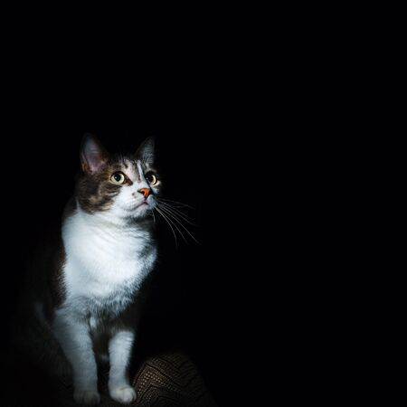 Portrait of a noble cat on a black background. Well maintained pet. Blank for the designer.