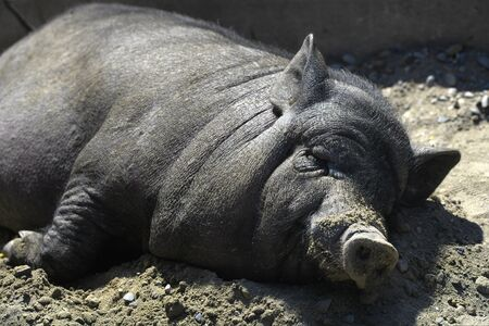 A black Vietnamese pig lies on the ground at noon. Boar quietly resting on the farm