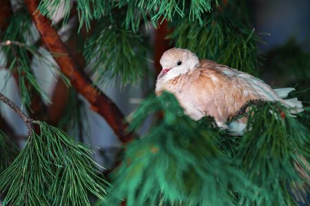 A white feathered bird sits on a spruce branch. Copy space