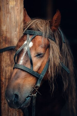 Sad face of a horse in harness. The horse is tied to a wooden post with his eyes closed