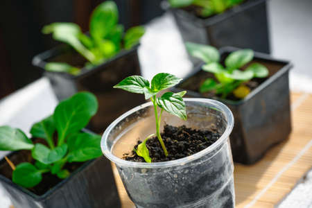 Seedlings of young green pepper close-up. Small green sprouts in containers.