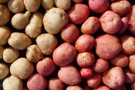 Fresh potato crop in full screen. White and red potato variety